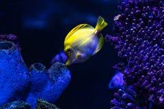Tang jaune dans le réservoir d'aquarium image stock