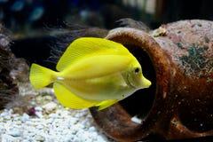Tang jaune près d'une cruche photographie stock