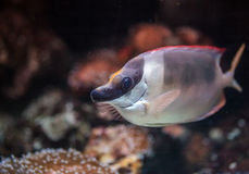 Tang reef fish. Closeup of a tang reef fish with selective focus royalty free stock image