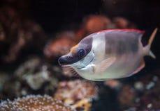Tang-Rifffische Lizenzfreies Stockbild