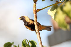 Tangara-cayana im Profil ohne Schnabellebensmittel Stockfoto