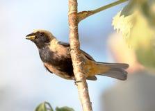 Tangara-cayana im Profil ohne Schnabellebensmittel Lizenzfreie Stockbilder