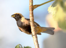Tangara cayana in profile with no beak food Royalty Free Stock Images