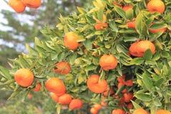 Tangerin background Stock Photos