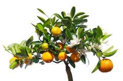 Tangerin på trädet. Arkivbilder