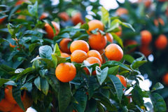 Tangerin tree with mandarins Royalty Free Stock Images