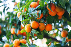 Tangerin tree with mandarins in orchard Stock Photography