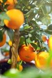 Tangerinas maduras em uma árvore decorativa Fotos de Stock Royalty Free