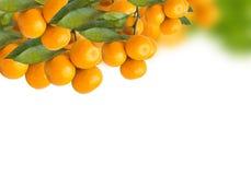 tangerine δέντρα Στοκ εικόνες με δικαίωμα ελεύθερης χρήσης