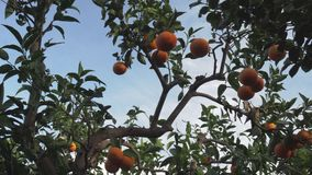 Tangerine δέντρο στο ενάντιο φως απόθεμα βίντεο