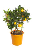 Tangerine δέντρο στοκ φωτογραφία με δικαίωμα ελεύθερης χρήσης