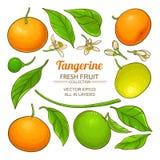 Tangerine διάνυσμα φρούτων Στοκ εικόνα με δικαίωμα ελεύθερης χρήσης
