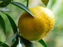 Tangerine φρούτα Στοκ Εικόνες