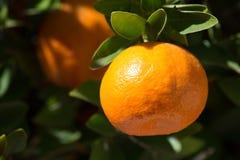 Tangerine или мандарин на дереве Стоковое Изображение