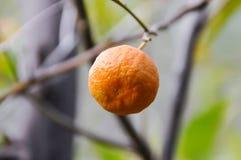 Tangerine на ветви Стоковая Фотография