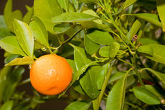 Tangerine. With leaves on tree Stock Photos