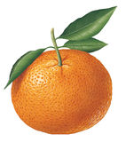 Tangerine Royalty Free Stock Images
