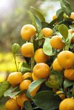 Tangerine. Freshly tangerine and green leaves with sunlight Royalty Free Stock Image
