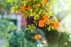 Tangerine στοκ φωτογραφία με δικαίωμα ελεύθερης χρήσης