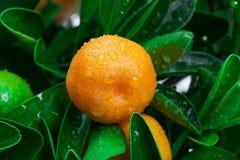 Tangerine auf einem Baum stockfoto
