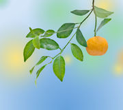 Tangerine  on branch Stock Photography
