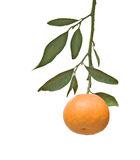 Tangerine on branch Stock Photos