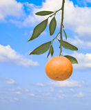 Tangerine on branch Royalty Free Stock Image