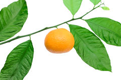 Tangerine on a branch Stock Photos