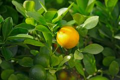Tangerine on a branch. Ripening tangerine on a branch in garden Stock Images