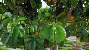 Through the tangerine citrus tree. View through a tree with growing ripe and ripening tangerines and oranges. Slow stock video