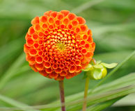 Tangerine dahlia Royalty Free Stock Photography