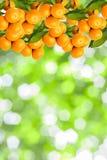 tangerine drzewa Zdjęcie Royalty Free