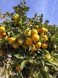 Tangerine drzewo fotografia royalty free