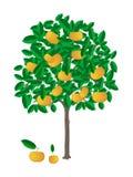 tangerine drzewo Fotografia Stock