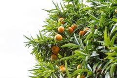 Tangerine drzewo po deszczu zdjęcia royalty free