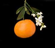 Tangerine with flowers. Tangerine with flower isolated on black background Stock Photos