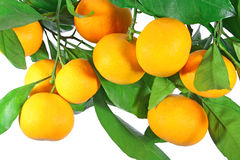 Tangerine fruit. Perfect tangerine fruit on a tree, isolated on white Stock Photography