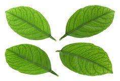 Tangerine fruit leaf Stock Image