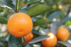 Tangerine. Tangerine is the fruit of Thailand, sour and sweet, a fruit farm Thailand Stock Image