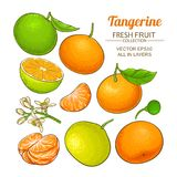 Tangerine fruit vector set. On white background royalty free illustration