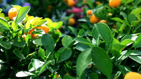 Tangerine fruits on a tree. Close up of tangerine fruits on a tree stock footage
