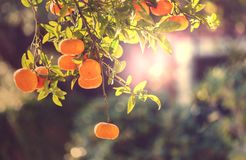 Tangerine. In garden royalty free stock photography