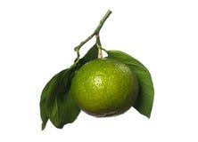 Tangerine. Green tangerine fruit on white background Royalty Free Stock Photo