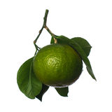 Tangerine. Green tangerine fruit on white background Royalty Free Stock Images