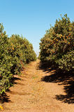 Tangerine grove. Mandarin Grove in winter. Israel Stock Photos