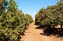 Tangerine grove. Mandarin Grove in winter. Israel Royalty Free Stock Images