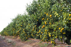 Tangerine grove Stock Photography