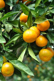 Tangerine hanging from the tree Stock Photos