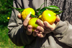 Tangerine Harvest. Yellow tangerines harvest in the country Stock Photo