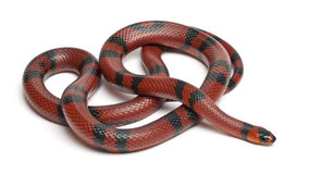 Tangerine Honduran milk snake, Lampropeltis Royalty Free Stock Photos